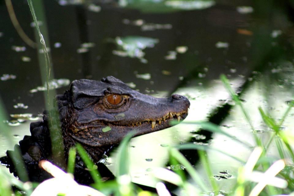 Dodades av krokodil under simtur